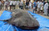 Cá voi nặng 250 kg mắc lưới ngư dân được mang về trưng bày