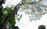 Chùm ảnh: Say đắm mùa hoa sưa tinh khôi Hà Nội