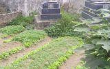 Hà Nội: Hoảng hồn những luống rau xanh mướt ngay trên nghĩa địa