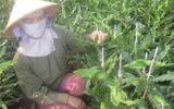 Lâm Đồng: Nông dân khóc ròng vì cây