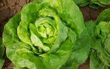 Ăn rau xà lách thế nào để tốt cho sức khỏe?