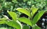 Lá ổi xanh – bí quyết thơm lừng vòm miệng