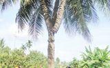 """Đại gia Dũng """"lò vôi"""" bỏ tiền tỷ hỏi mua cây dừa 3 ngọn chữa bách bệnh"""