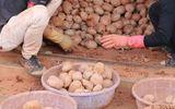 """Khoai tây mọc mầm gây độc """"khoác áo"""" khoai ngon: Cách chọn khoai tây ngon"""