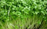 """Thực hư thông tin """"không nên ăn rau mầm vì hạt giống vô cùng độc hại"""""""