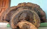 Nghệ An: Dân đổ xô đi xem nấm linh chi nặng 50kg