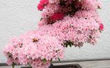 Ngất ngây trước những kiệt tác Bonsai nổi tiếng thế giới