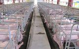 """Lợn thải loại, lợn chết bị thương lái TQ từ chối mua sẽ """"quay đầu"""" đi đâu?"""