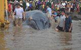 Giải cứu cá voi dài 15m, nặng 10 tấn dạt vào bờ biển Nghệ An