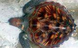 Ngư dân Hà Tĩnh thả rùa quý nặng 10kg về đại dương