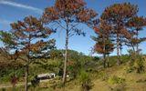 """Hàng chục cây thông 30 năm tuổi chết đứng vì bị """"đầu độc"""""""