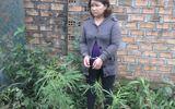 """Một """"bà trùm"""" lĩnh án vì ngang nhiên trồng cần sa trong vườn nhà"""