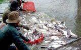 """Thiếu liên kết, doanh nghiệp và nông dân nuôi cá tra đều """"bẻ kèo"""""""