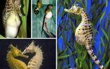 Kỳ lạ những con đực biết... đẻ trong thế giới động vật