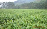 Chiến lược sản xuất chè sạch, chất lượng và bền vững của một xí nghiệp vùng lũ
