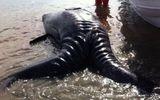Cận cảnh cá voi xám hai đầu kỳ quái