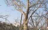 Dân đổ xô chiêm ngưỡng cây đào cổ thụ giá 100 triệu