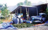 Nghệ An: Tận diệt cây dược liệu bán cho thương lái Trung Quốc