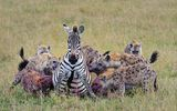 Kinh hãi bầy linh cẩu ăn thịt ngựa vằn