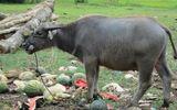 """Dưa hấu dưới 1.000 đồng/kg, trâu, vịt """"chê"""" không muốn ăn"""