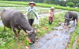 Chùm ảnh: Nông dân Quảng Ngãi đổ dưa hấu cho trâu, bò ăn