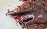 Mỹ: Bắt được cá mập yêu tinh dài 5m