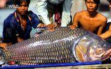 """Huyền thoại cá """"thầy chùa"""" khổng lồ trên dòng Cửu Long"""