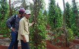 Không rõ thương lái Trung Quốc mua rễ tiêu sống làm gì