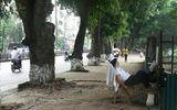 """Hàng cây cổ thụ ở Hà Nội: """"Họ mà chặt thì tôi cũng nghỉ!"""""""