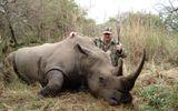 Hơn 730 cá thể tê giác bị giết hại tại Nam Phi