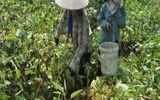 Nông dân mắc bẫy thương lái Trung Quốc, doanh nghiệp Việt lao đao