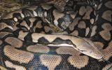 Con trăn kỳ lạ ở vườn thú đẻ sáu con mà không cần giao phối
