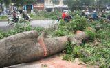 Đốn hạ 100 cây xà cừ cổ thụ ở Hà Nội