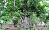 Ngắm 5 cây thị gần 700 tuổi có giá chục tỷ đồng ở Nghệ An
