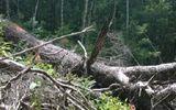 VQG Chư Yang Sin: Nhẫn tâm đốn hạ rừng già chỉ để lấy… hạt
