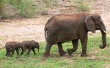Voi song sinh cực hiếm lần đầu tiên chào đời ở Nam Phi