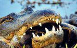 Video: Kinh hoàng trăn Miến Điện hỗn chiến với cá sấu khổng lồ