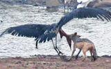 Cuộc đại chiến giữa chó rừng và cò lớn châu Phi