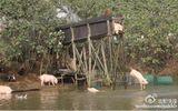 """Biến lợn bình thường thành lợn """"bay"""" để thu hút khách du lịch, bán với giá cao"""