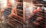 Người đàn ông trộm chó bị đánh đập, nhốt vào lồng nuôi chó