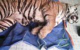 Hà Tĩnh: Phát hiện cá thể hổ nặng 130kg ở nhà dân