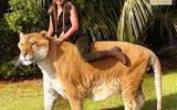 Ngắm đứa con lai giữa sư tử và hổ lớn nhất thế giới