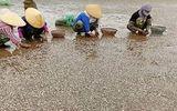 Ngao chết hàng loạt ở Thanh Hóa: Do thời tiết và mật độ nuôi không phù hợp?