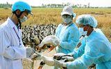 Đàn gà hàng nghìn con tại Bạc Liêu bị nhiễm cúm gia cầm