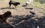 """Video: Bầy chó """"đại chiến"""" với hổ mang chúa để cứu chủ"""