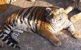 """Hổ, sư tử """"béo phì"""" trong vườn thú Trung Quốc"""
