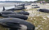 """Kỳ lạ hiện tượng hàng trăm chú cá voi """"tự sát"""" ở New Zealand"""