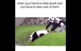Ngộ nghĩnh chú gấu trúc hành động như người say rượu