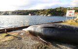 Túi ni nylon, rác thải đầy ắp trong dạ dày cá voi mắc cạn