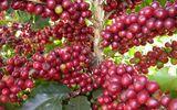 Hơn 10 ngàn ha cà phê Tây Nguyên được tái canh từ nguồn vốn Agribank